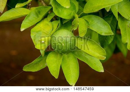 unripe green tangerine, mandarin on the plant.