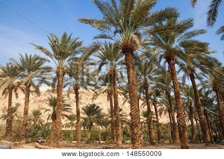 Ein Gedi oase in the Negev desert near the Dead Sea Israel