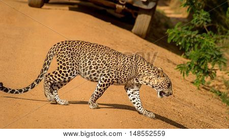 Leopard gracefully walking on the orange sandy road. Beautiful big spotted cat close-up in the wild.