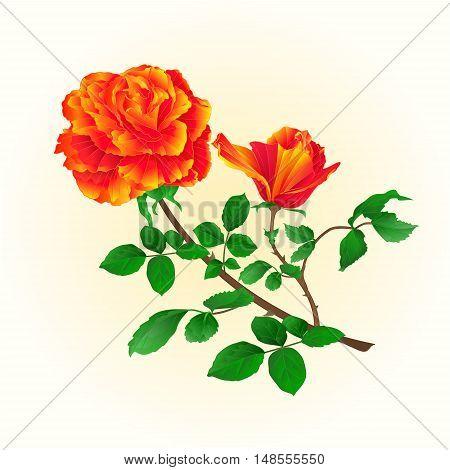 Flower orange rose with bud vintage on a white background vector illustration
