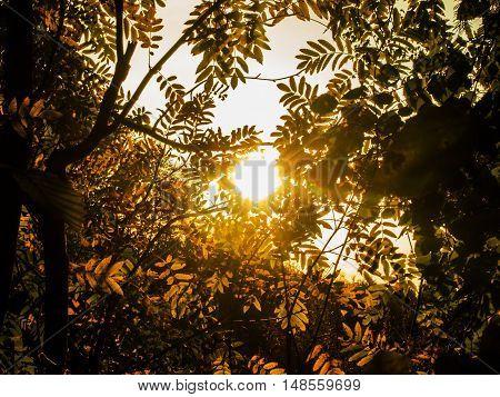 autumn sun through the leaves of mountain ash