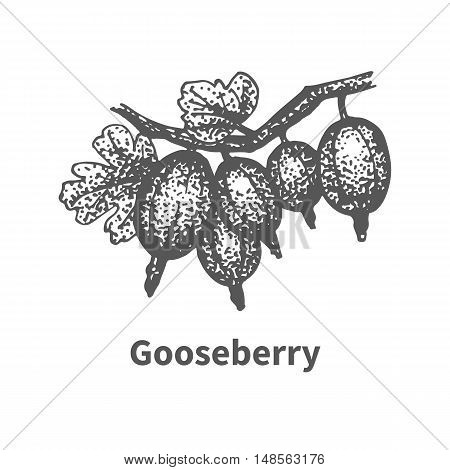 Vector illustration doodle sketch hand-drawn gooseberry with leaves and branches. Isolated on white background. Berry painted dots and lines. The concept of gardening and harvesting.