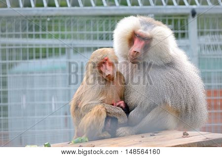 Family of baboons sitting close together at zoo