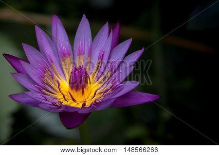Beautiful purple lotus flower blooming in the garden