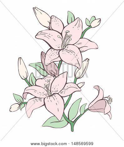 Hand drawn linear vector illustration. Bouquet of three pink lilies isolated on white background. Floral background with blooming lilies. Lily flowers. Blooming lily.