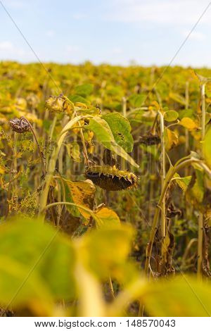 Sunflower harvest, riped sunflowers in the field