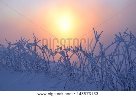 Orange sun illuminates the bushes covered with frost coldly morning.