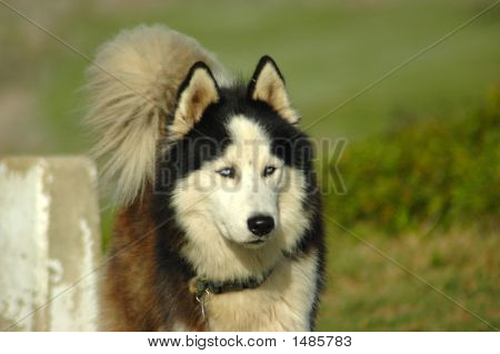Alaskan Malamute Dog Head Portrait