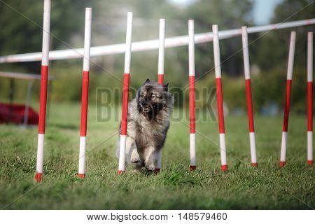 Dog Agility Slalom