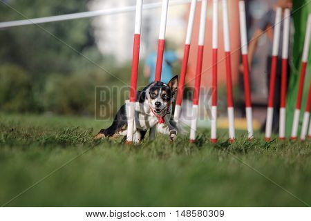 dog agility slalom sports competitions of dogs in the summer in the park