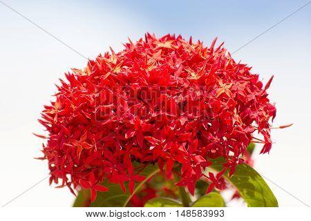 Bunch of Beautiful Red Ixora flowers Indian Jasmine. scientific name Ixora chinensis Lamk