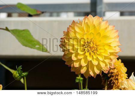 Puffy Flower Yellow Petals Dense Pale Outdoors Closeup