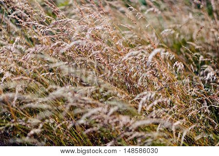 Tall Grass Under A Gust Of Wind