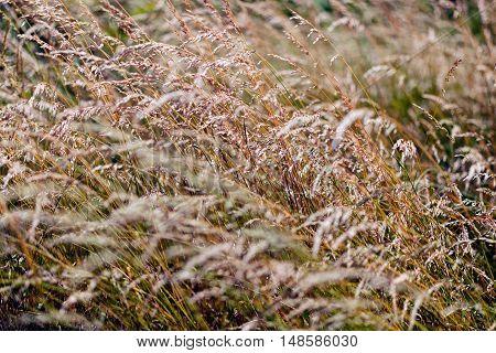 Tall Grass Under A Gust Of Wind