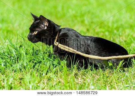 small black cat, five months, walking on the street on a yellow ropes course leash, lying on green grass, yellow eyes cold and thoughtful, sunny day, a shiny coat, hunting