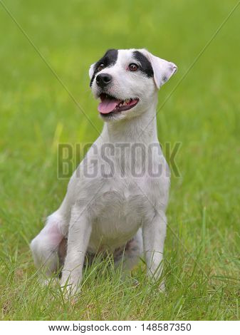 Typical Parson Russell Terrier in the summer garden