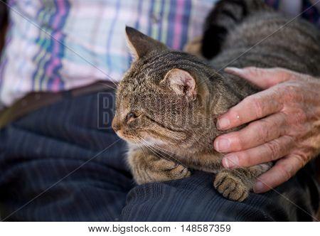 Tabby cat lying in old man lap and enjoying cuddling