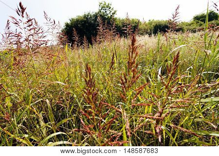 Species Of Tall Grass