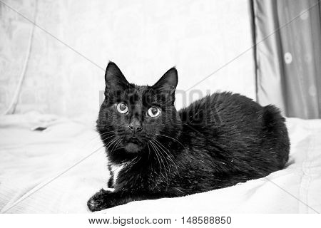 animals, black adult cat, the pet, the white is black