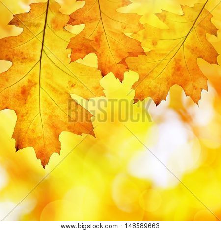 Colorful autumn leaves of oak tree on a blurred background.