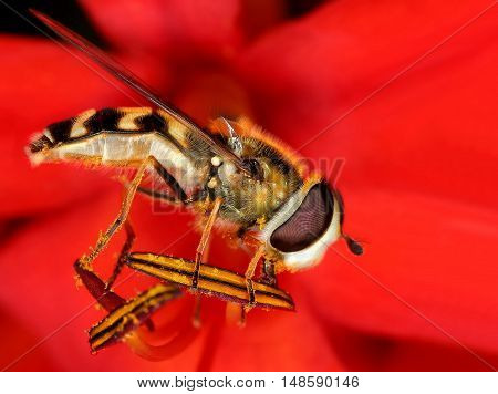 A Hoverfly balancing on a red bloom
