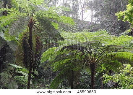 Tree ferns in a park on the island Madeira
