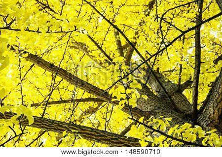 Big yellow trees. Autumn scenery. Colorful november. Seasonal natural background.