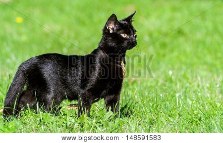 small black cat, five months, walking on the street on a yellow ropes course leash, standing on green grass, yellow eyes cold and thoughtful, sunny day, a shiny coat, profile