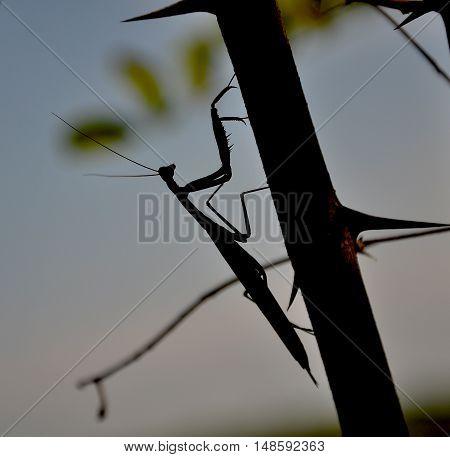 Mantis religiosa, with the common name praying mantis