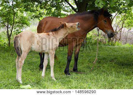 foal playing with her mother horse, farm horses