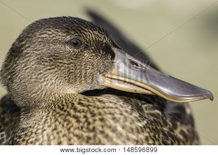 Profile close up of a female Northern Shoveler - shoveller - duck (Anas clypeata). Clearly shows the comb-like structures on the edge of the bill that act like sieves when feeding.