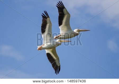 Two American White Pelicans Flying in a Cloudy Blue Sky