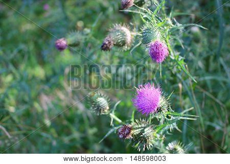 Macro purple pink bur flower green bush grass