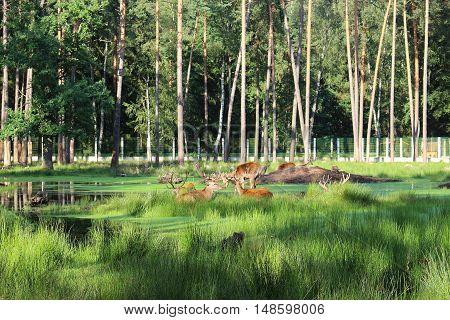 Head of deer in reserve green grass trees