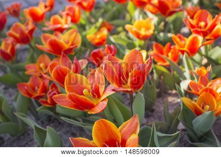 Orange with yellow frame tulips flowerbed green leaves