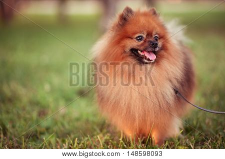 Happy spitz pet walking on green grass outdoors in sunny day.