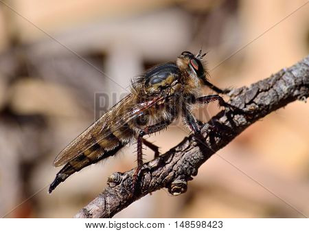 Imposing robber fly in foreground on small branch