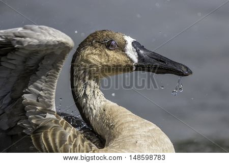 Close up of a rare swan goose clearly showing the nictitating membrane which is the protective inner eyelid of birds. A fast shutter speed freezes the water drops as the bird shakes itself dry.