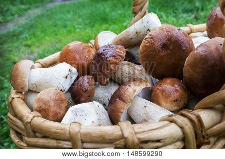 Boletus Mushrooms In A Wicker Basket