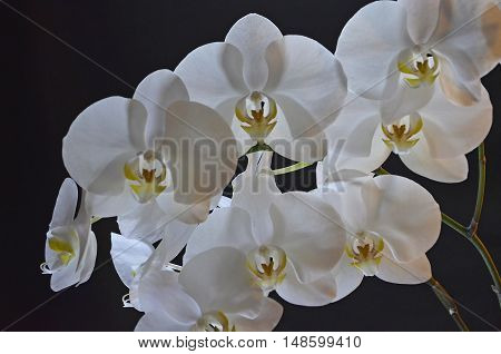 White transparent branch Orchid on black background