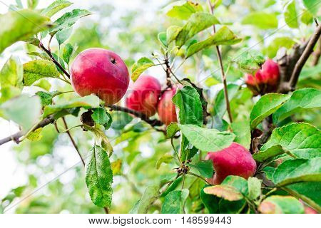 Red apples on apple tree branch  in orchard in summer