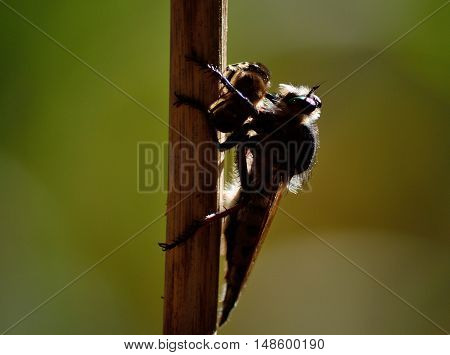 Robber fly backlit with bee under its claws