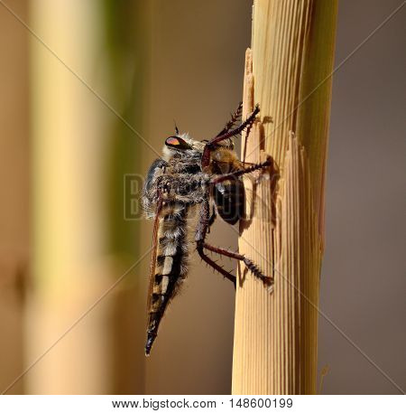 Robber fly on cane stalk with bee under its claws