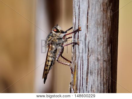 Great Robber fly perched on cane stalk