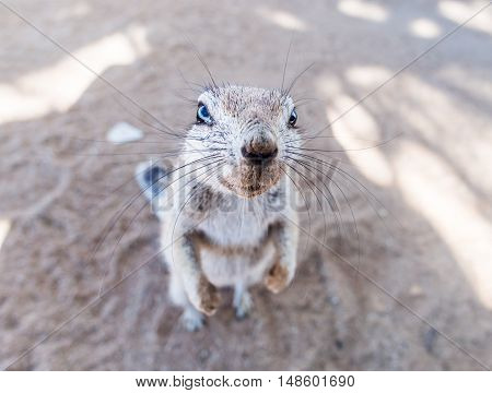 African ground squirrel on the Namib dessert Namibia. Wide angle close up.