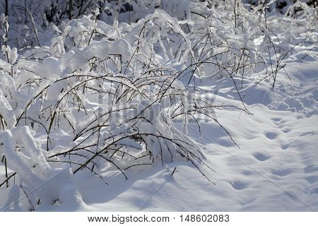 Branches of a small plant covered with snow