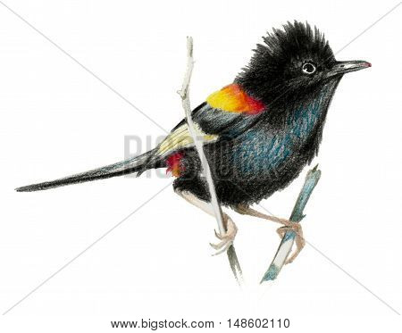 Red backed fairy wren isolate on white background