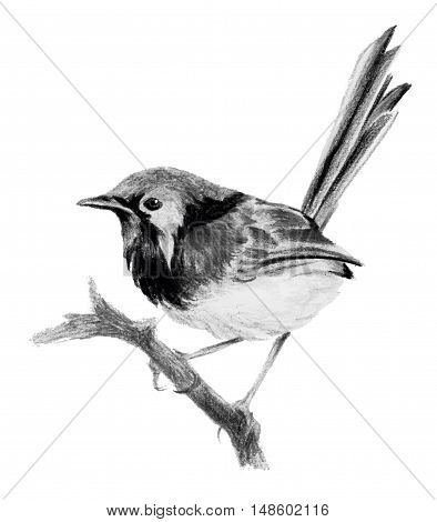 Lovely fairywren (malyur) sitting on a branch. Pencil drawing isolated on white background
