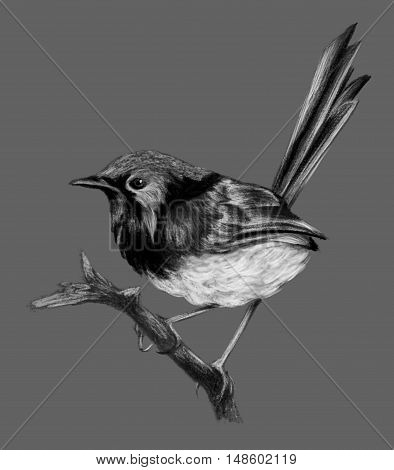 Lovely fairywren (malyur) sitting on a branch. Pencil drawing isolated on grau bsckground