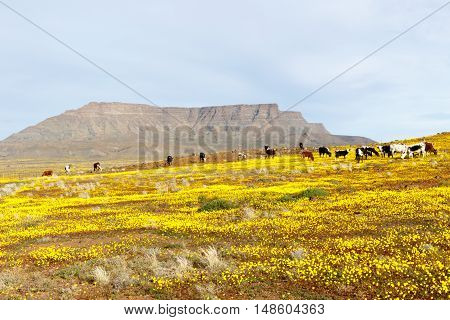 Cattle With A Mountain Looking Like Table Mountain In The Background Tankwa Karoo